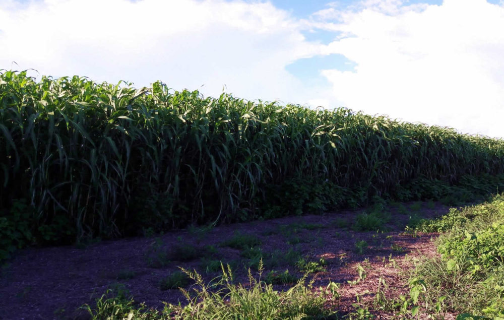 Sorgo-forrageiro-gigante-boliviano-Agri-002E-plantacao-2