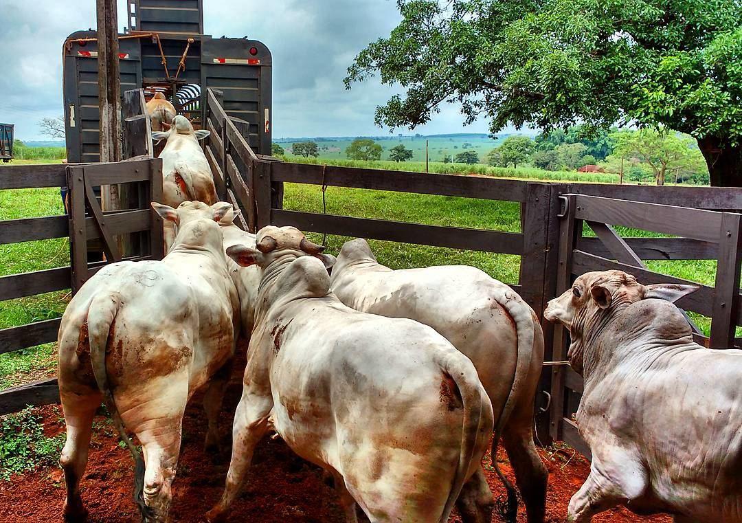 embarque de gado nelore