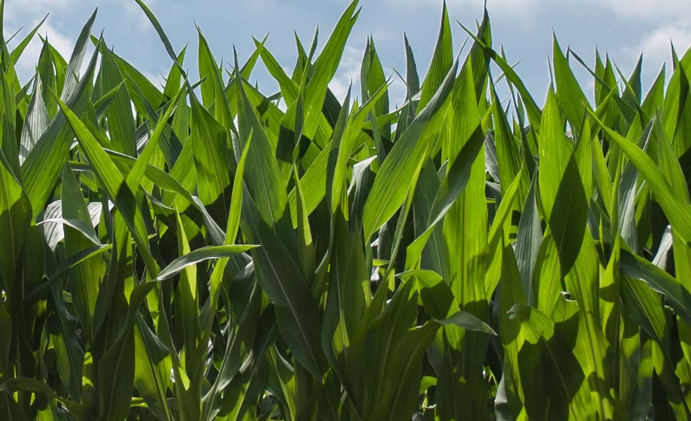 importancia-nutricao-foliar-milho-safrinha