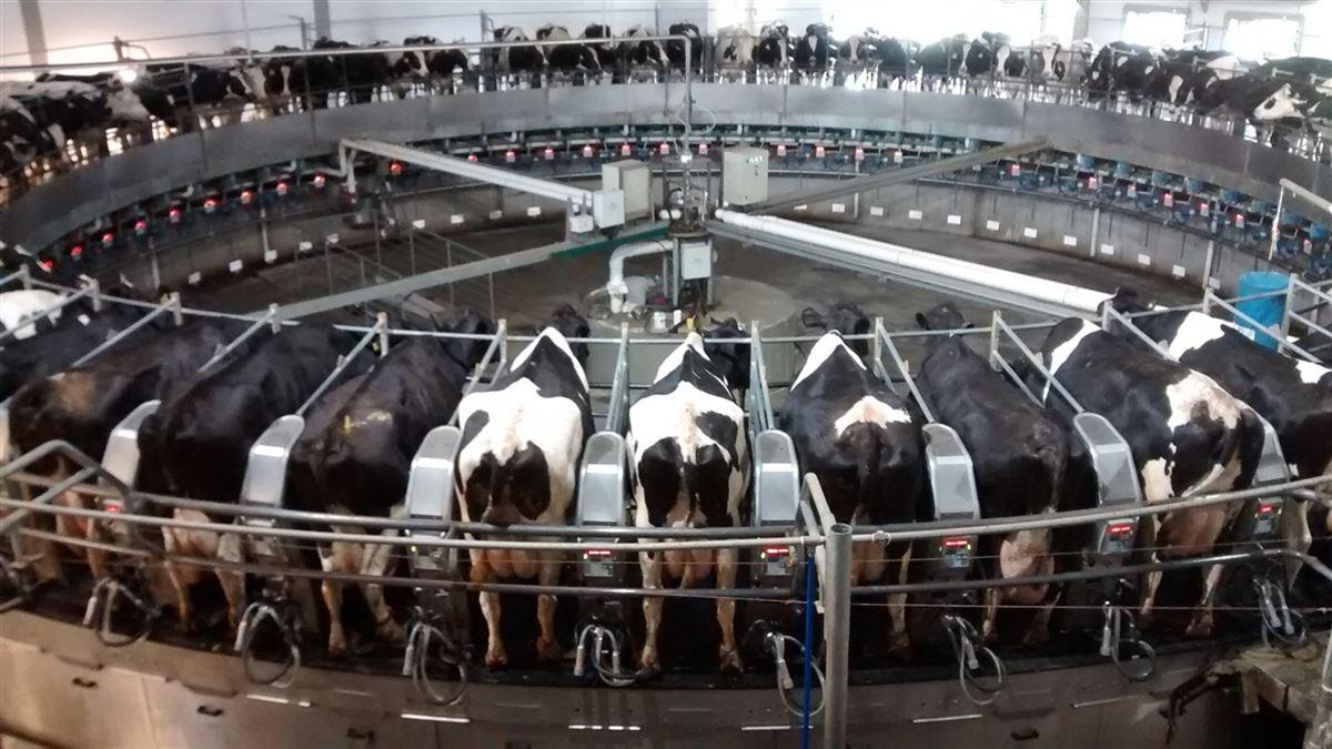 ordenha carrossel leite