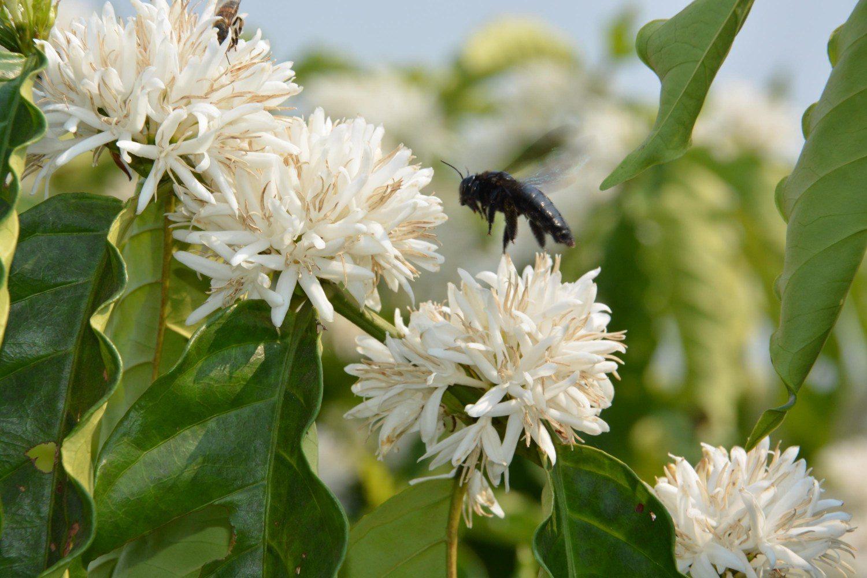 Flor do Café