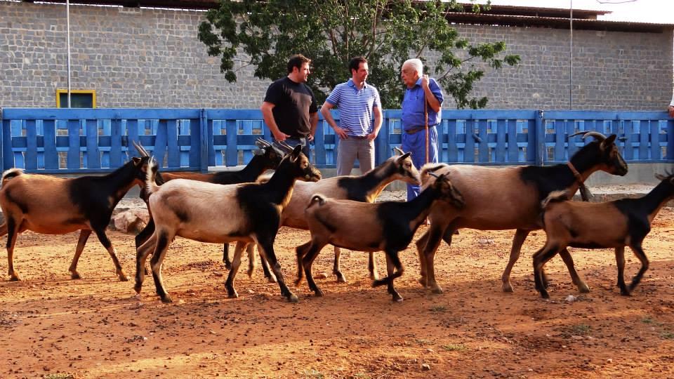 Cabras da raça nativa Repartida com o criador de tudo, Manuelito Dantas e nós ao fundo