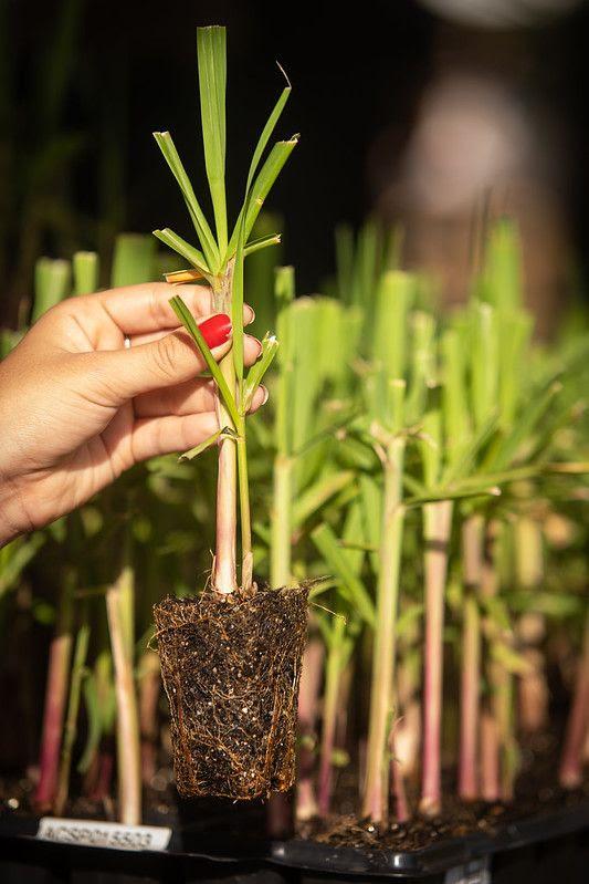 Conquista é fruto de MPB + MEIOSI no plantio de nova variedade