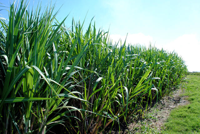 Tecnologias para o aumento da produção da cana-de-açúcar é tema do Dia de Campo na TV