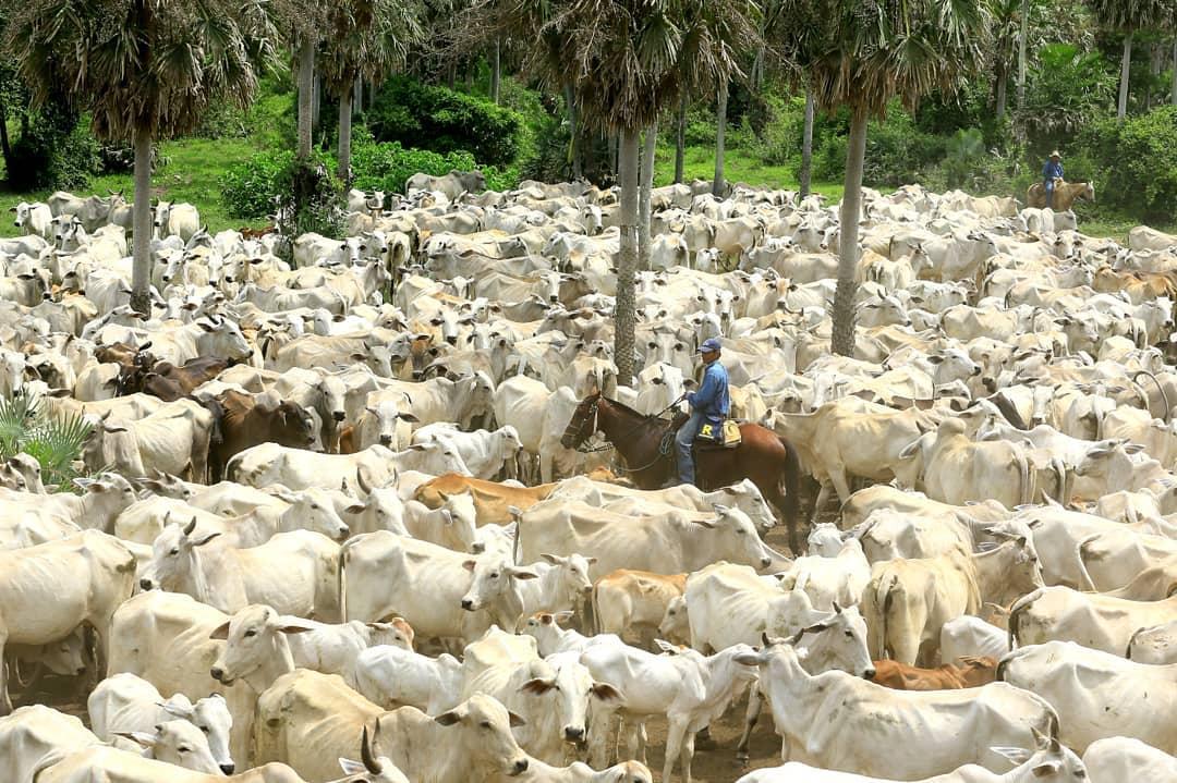 dando um rodeio no gado em Hacienda San Javier - Bolivia