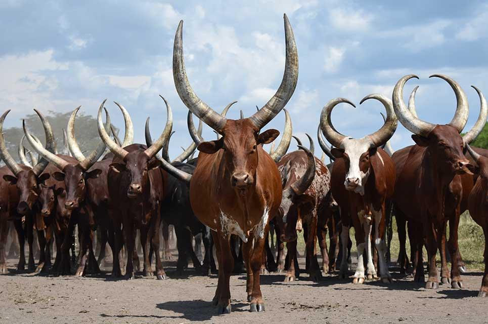 gado africano ankole watusi 4