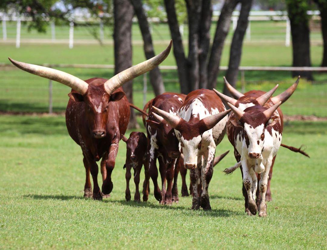 gado africano ankole-watusi