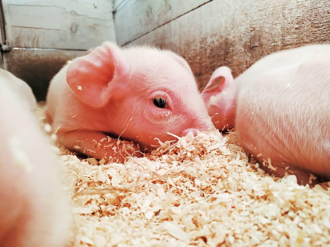 suinos no brasil porcos