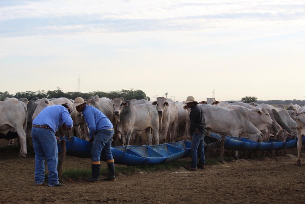 vaqueiro arrumando cocho de nutricao