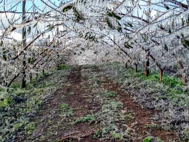 Agricultores catarinenses congelam pomares de frutas de caroço para protegê-los da geada
