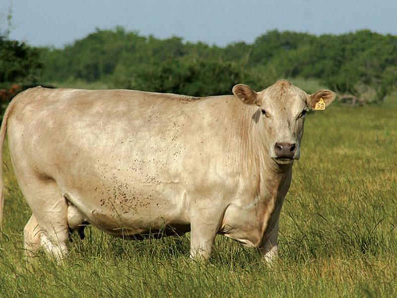 femea vaca murray grey