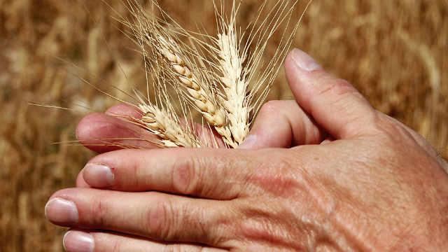 separar o joio do trigo com as maos