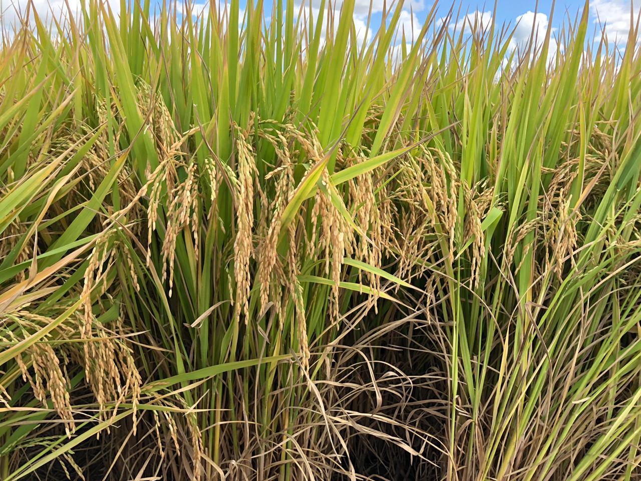 Arroz irrigado ganha espaço no sistema rotacionado