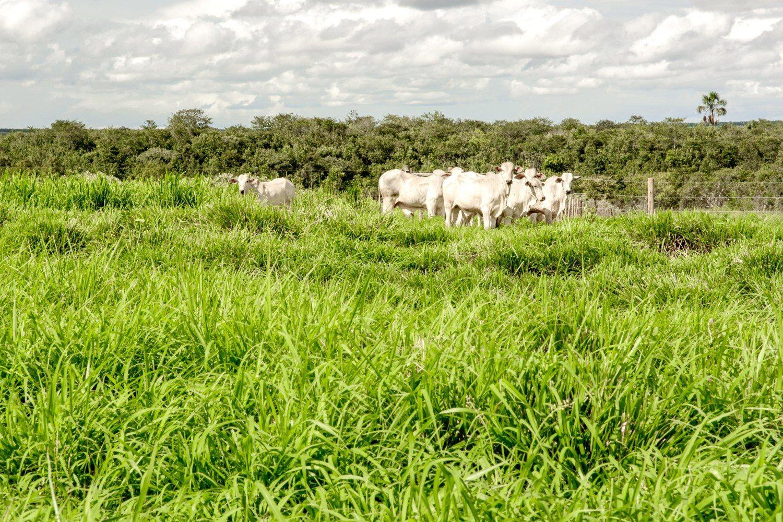 cultivar BRS Tamani a campo e em pastejo - pastagem