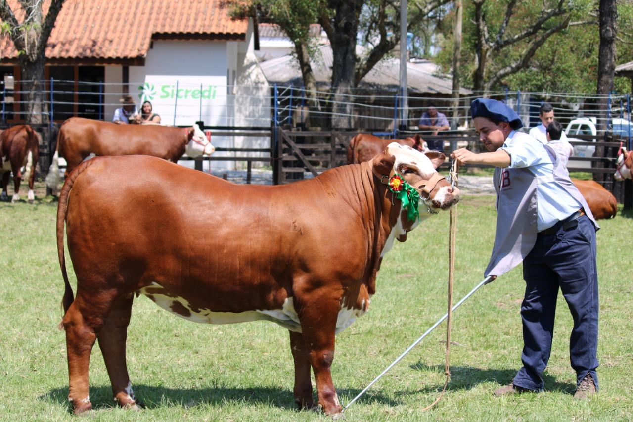 novilhas da raca braford -fazenda esperanca 2