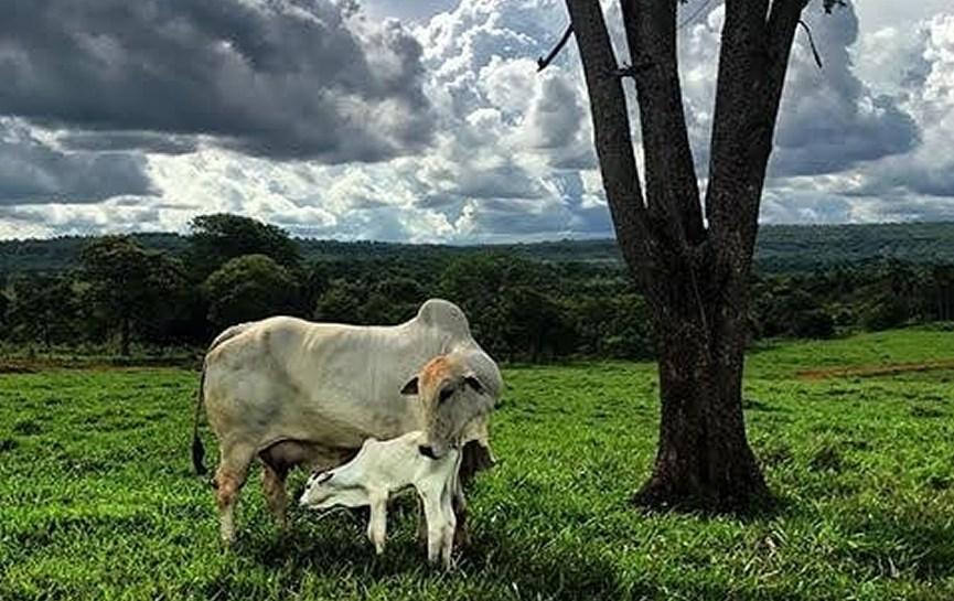 vaca nelore mocho Agra FIV Angico
