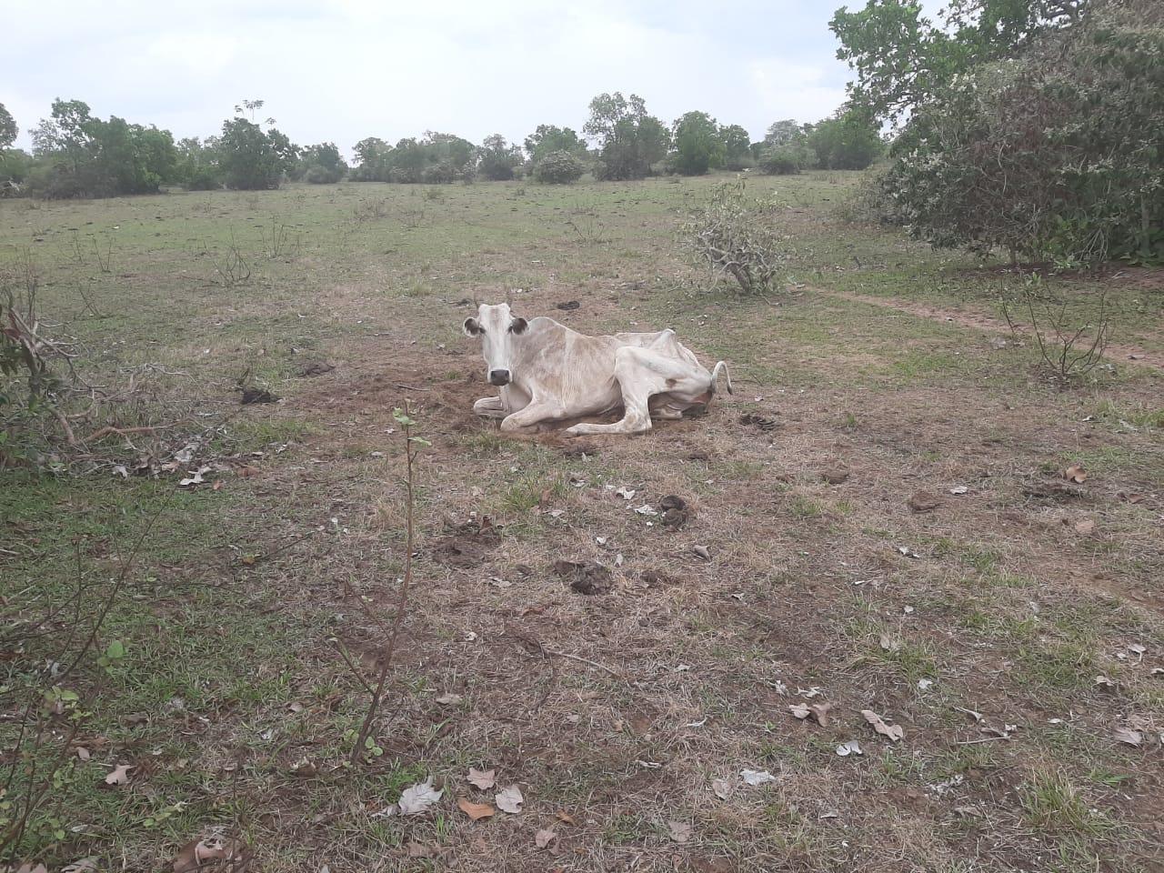 gado morrendo de fome 2