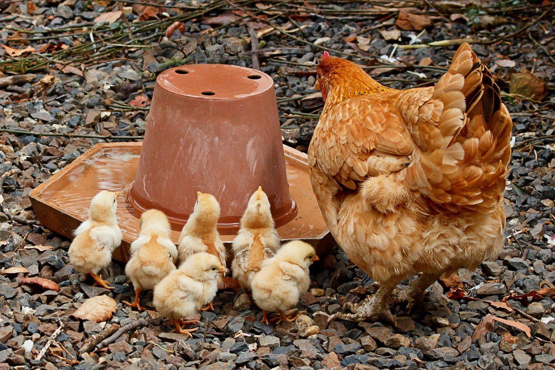 galinha choca com pintinhos no cocho comendo