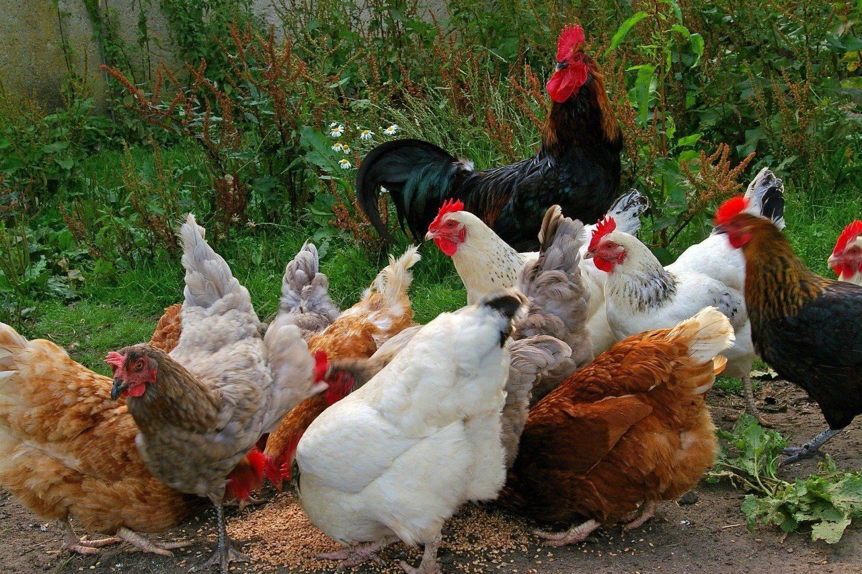 galinhas comendo milho