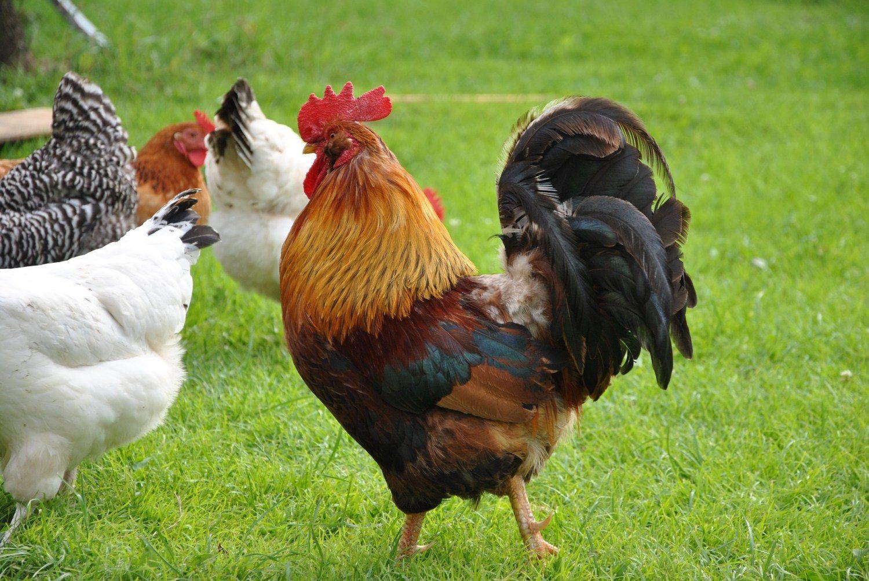 galo no campo com as galinhas