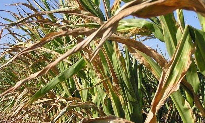 lavoura de milho secando devido estiagem no sul