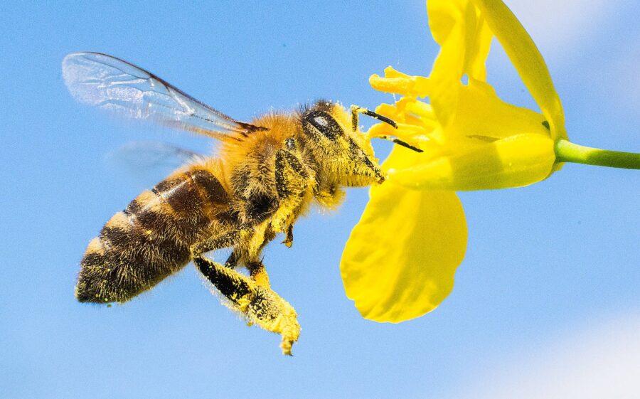 Só as abelhas acumulam grãos de pólen nas partes externas do corpo.