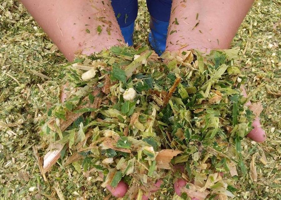 Silagem de milho em propriedade na região de Fronteira Oeste