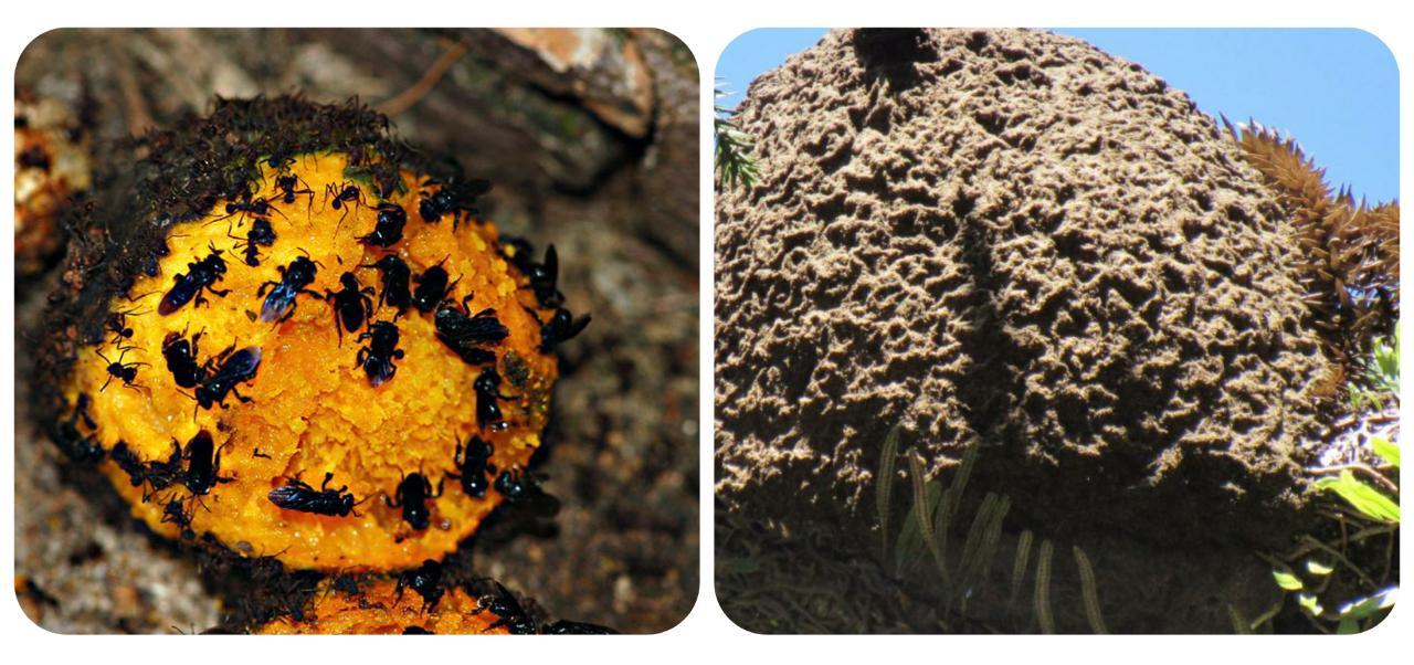 As abelhas irapuás constroem ninhos muito resistentes em galhos de árvores.