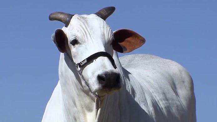 ACNB-Fazenda-Canaa-oferta-o-melhor-da-genetica-Nelore-em-leilao-virtual-2