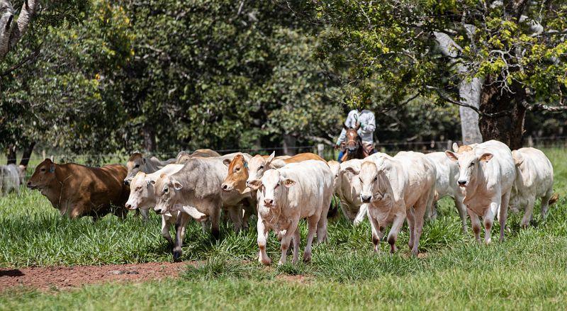 Raça Araguaia surpreende em primeiro abate no Mato Grosso --
