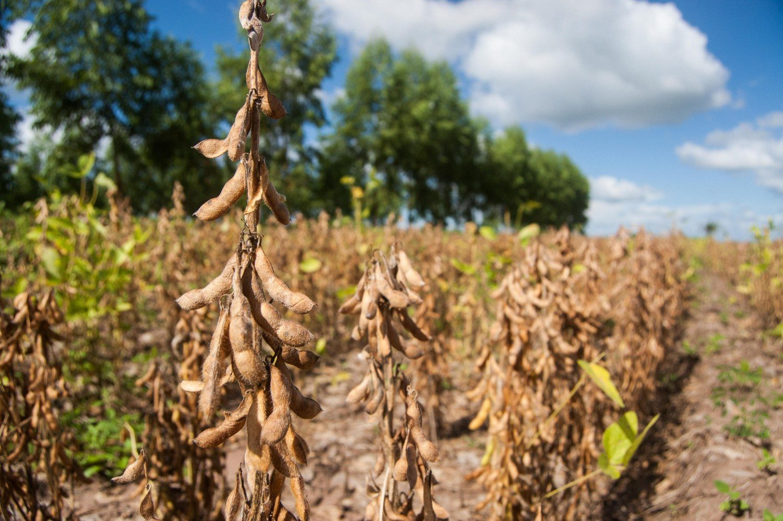 Superprodução de soja garante proteção da floresta 1