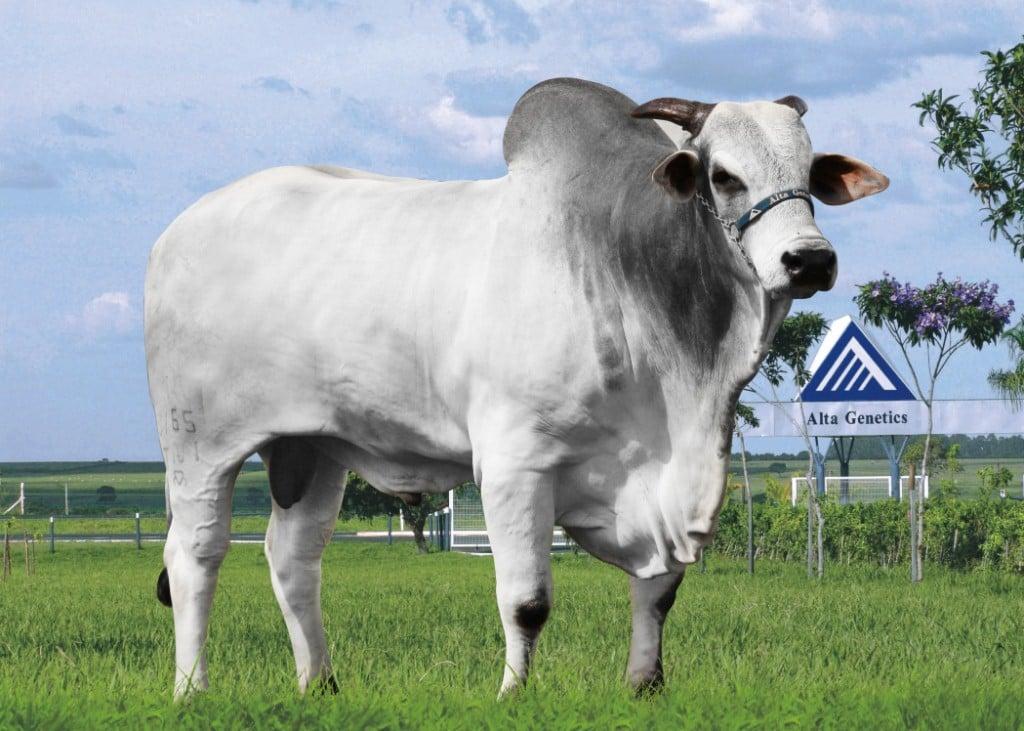 clone do touro nelore fajardo da jb