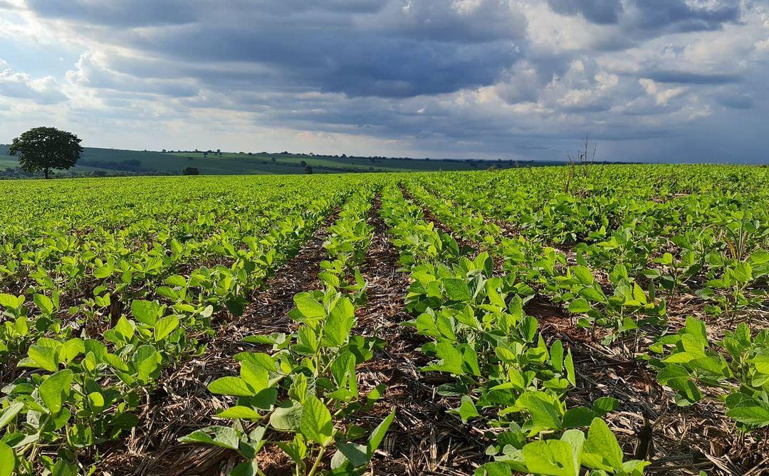 campo de soja crescendo - plantio direto
