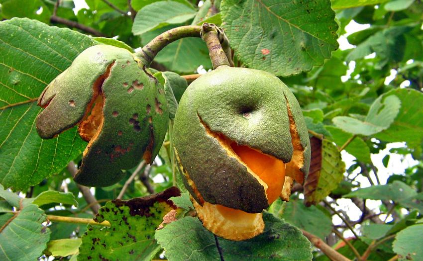 fruto do pequi na arvore piquizeiro