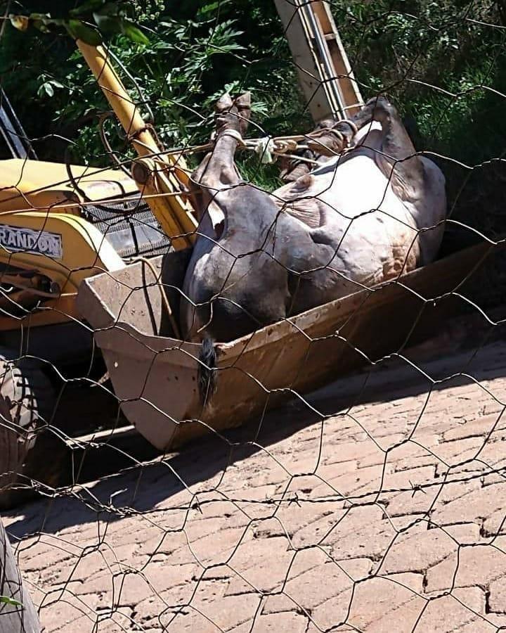 touro guzera foi capturado