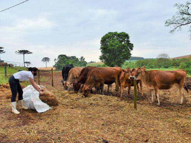 A alimentação dos animais é à base de pasto, mas quando necessário o casal lança mão de pré-secado. Foto: Aires Mariga
