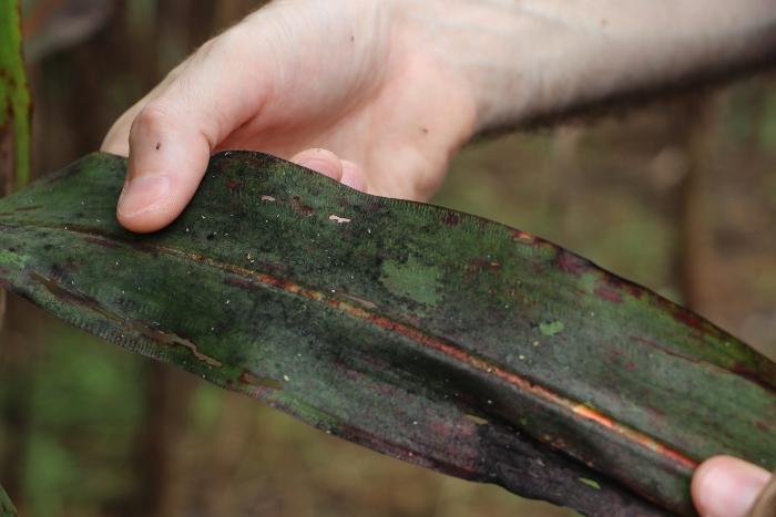 Excreções do pulgão viram meio de cultura para a fumagina, um fungo que reduz a capacidade de fotossíntese da planta - Photo: Gabriel Faria