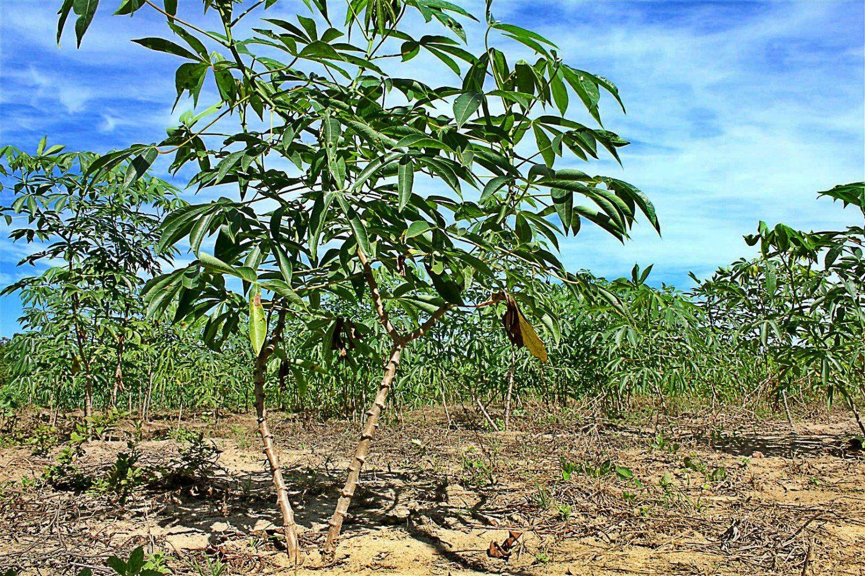 Inovação eleva em 10x a produção de mudas de mandioca