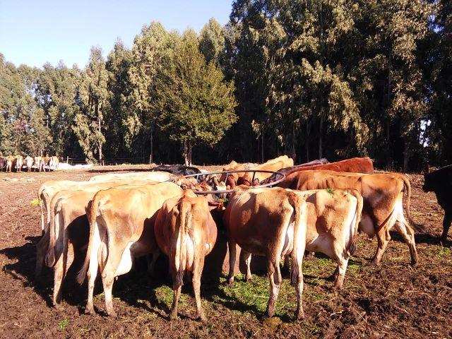 O pré-secado é dado aos animais em alimentador móvel, que é disposto em uma área de descanso. Foto: Celis Gaspareto