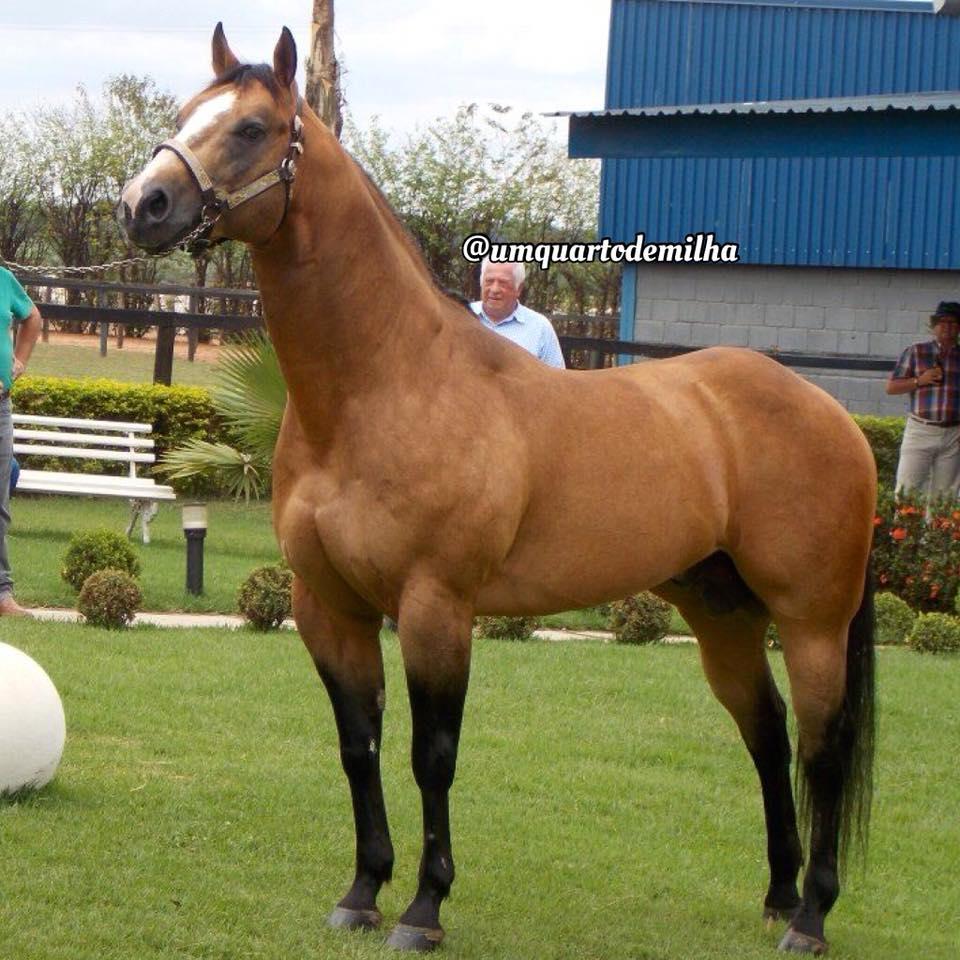 cavalo quarto de milha - dual spark 5