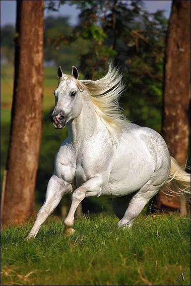 el shady zorrero - cavalo quarto de milha