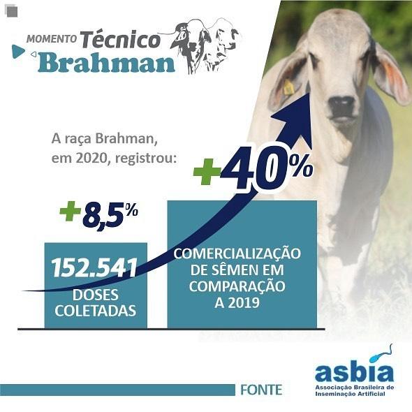 infografico Brahman Brasil - genetica