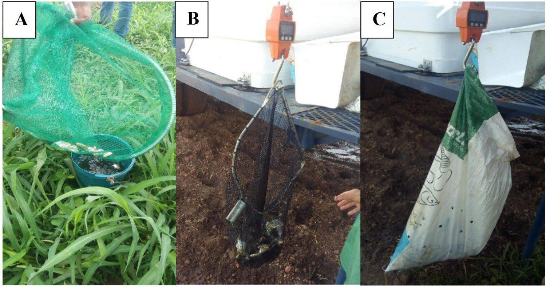 Transferência dos peixes em balde com água para posterior pesagem (A), pesagem no puçá (B) e pesagem no saco de ração vazio (C)