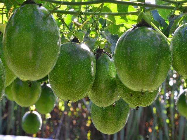 A Epagri lançou 200 cultivares nos últimos 40 anos