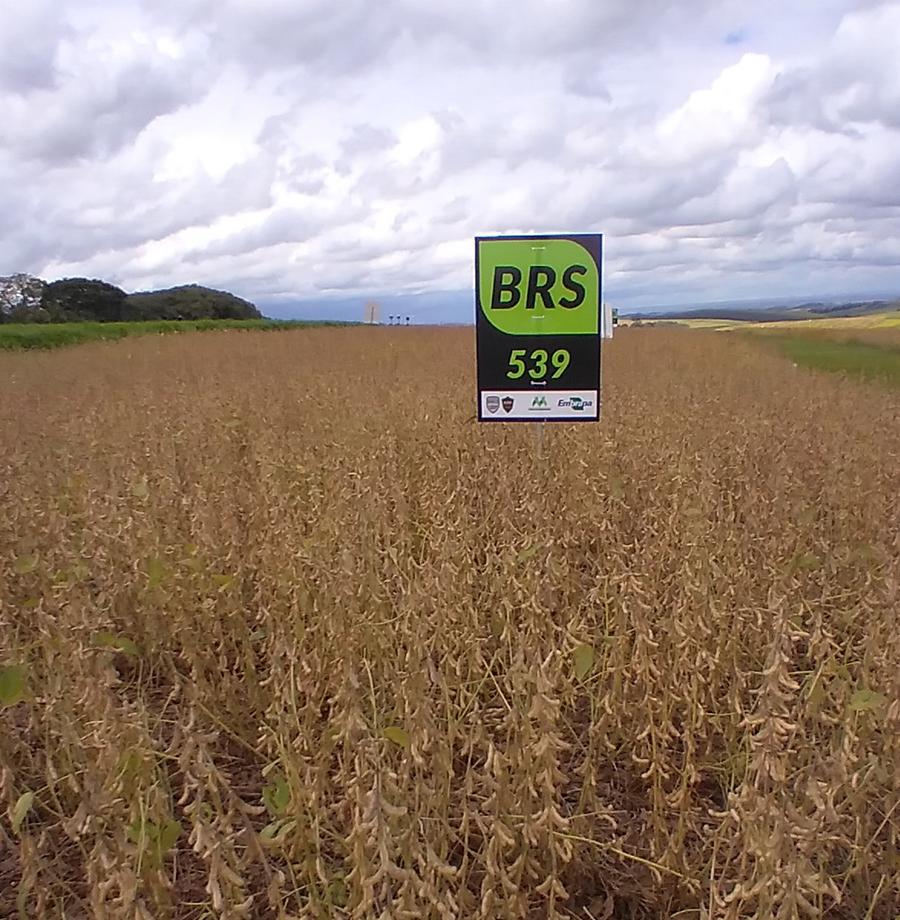 BRS 539 Além de aliar as tecnologias Shield e Block, a cultivar apresenta alto potencial produtivo e manutenção de estabilidade de produção