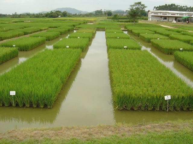 """Campo de avaliação de linhagens """"candidatas"""" a cultivar de arroz na Estação Experimental da Epagri de Itajaí (Foto: Epagri)"""