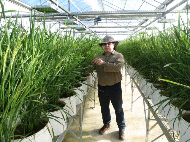 Melhoramento genético envolve observação constante da natureza e anos de estudo, respeitando o ritmo de cada cultura agrícola (Foto: Epagri)