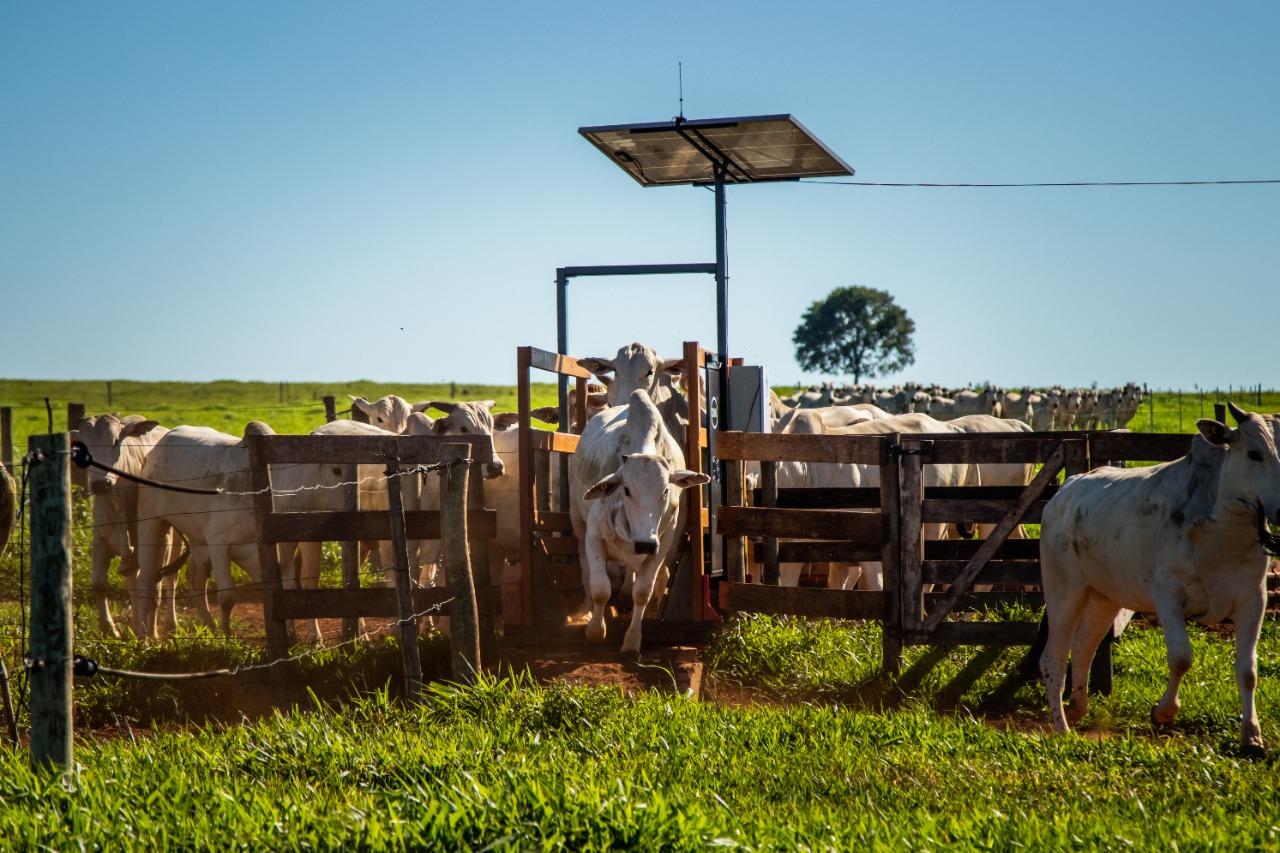 gado passando pela balanca ballpass no pasto