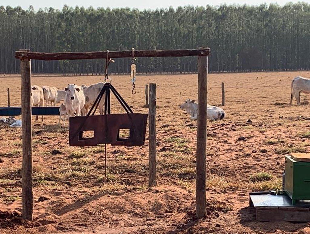 manejo de maternidade vacas nelore