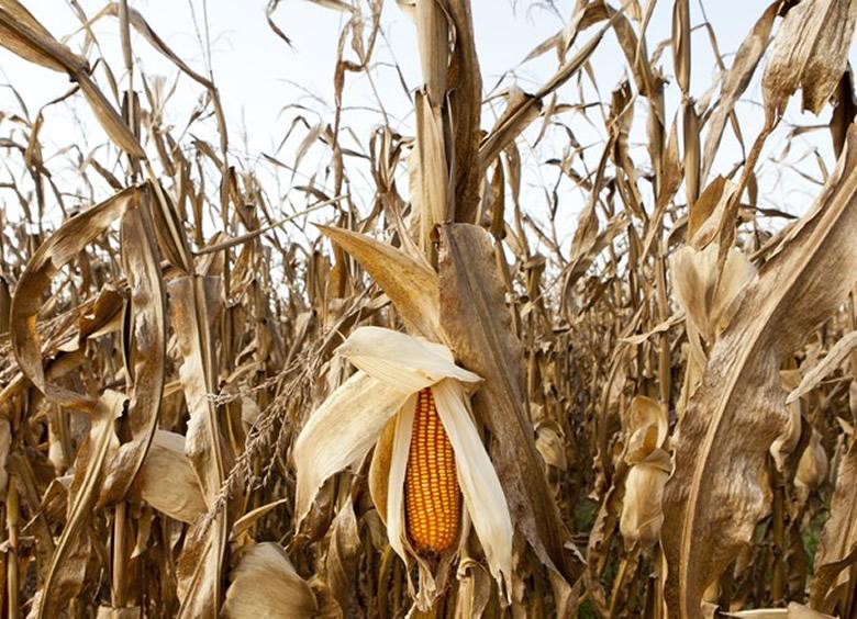 milho tolerante a seca